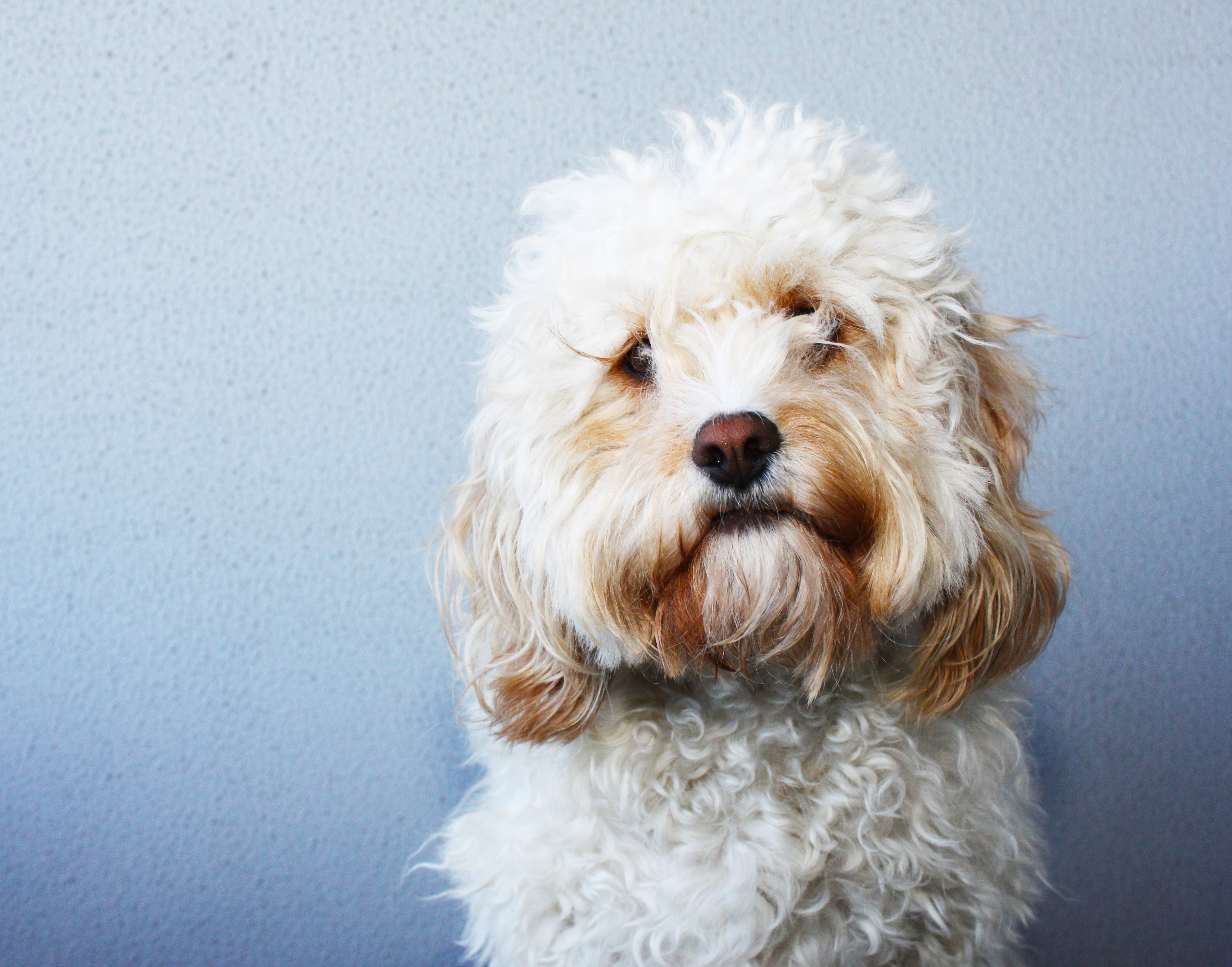 giving your cavoodle a hair cut | tobywigglebottom